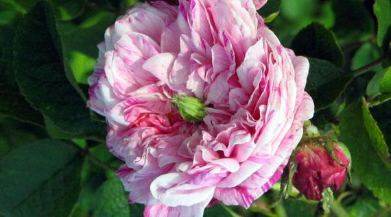 Anomalie delle rose for Malattie delle rose