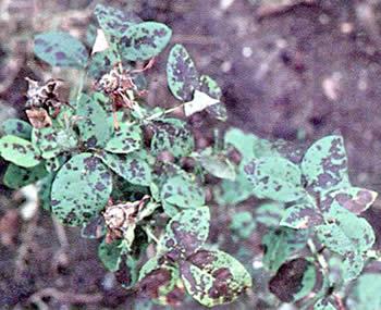 Ticchiolatura della rosa for Malattie delle rose