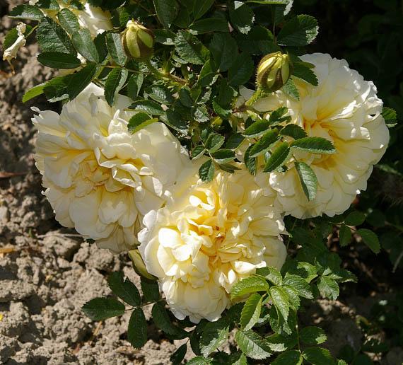 Rose da polloni o per divisione for Riproduzione rose