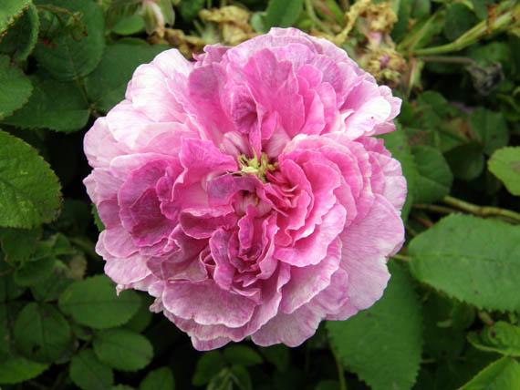 Rose da talea autunnale for Riproduzione rose