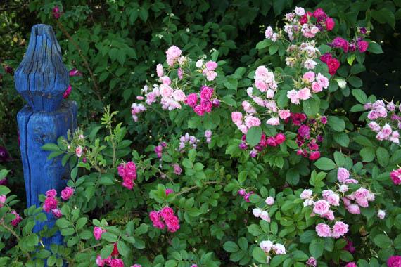 Rose da talea estiva for Riproduzione rose