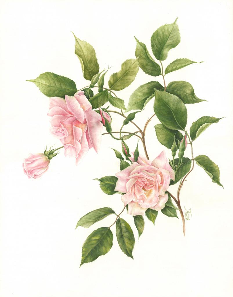 Il colore delle rosa antica 6 aprile 2014 for Rose color rosa antico