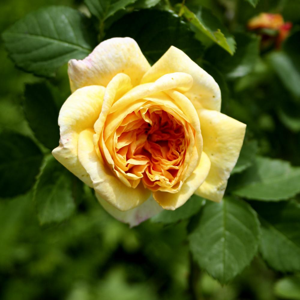 Le rose profumate per il giardino for Riproduzione rose