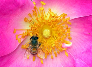 Riprodurre le rose da seme for Riproduzione rose