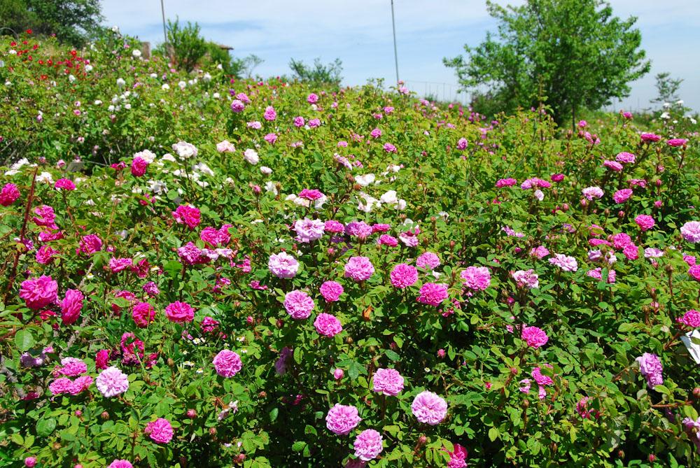 Il giardino delle rose - Giardino con rose ...