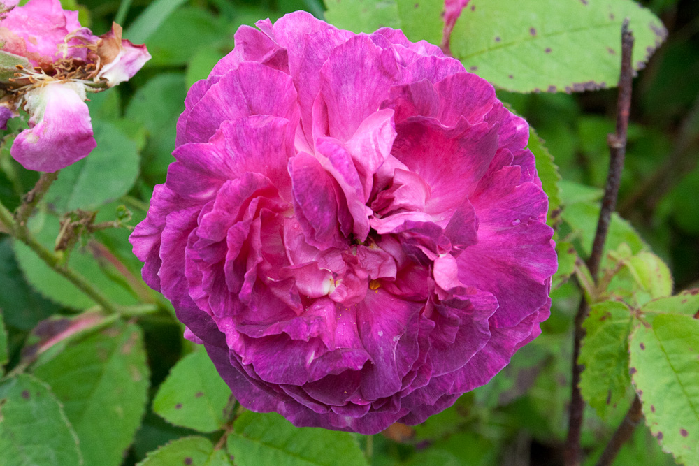 Image result for Rosa gallica Boule de Nanteuil